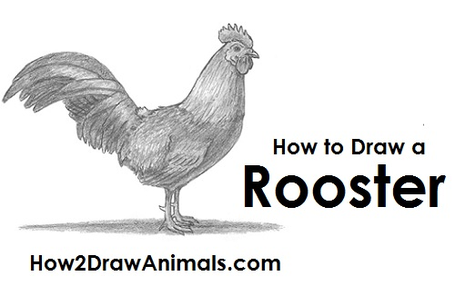 Drawn rooster gallic rooster Draw a Draw to Rooster