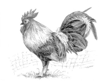 Drawn rooster realistic Wall ink kitchen art original