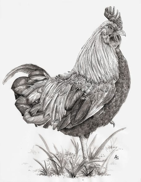 Drawn rooster sketch Stanton art com  as