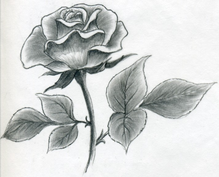 Drawn rose Rose Easily Quickly a
