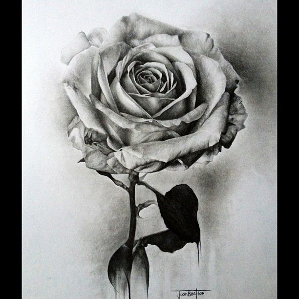 Drawn red rose pen drawing Rose White Josh about Beatson