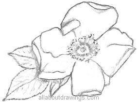 Drawn rose beginner Rose Rose Drawings Pencil Beautiful