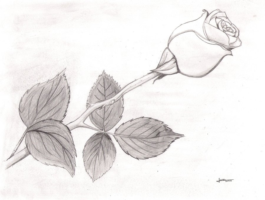 Drawn rose black and white White Rose by on Black