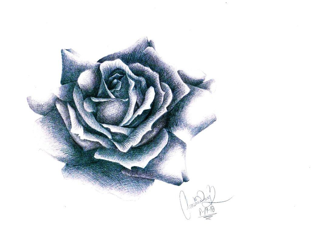 Drawn rose blooming rose Christinedeng christinedeng Blooming Rose Rose
