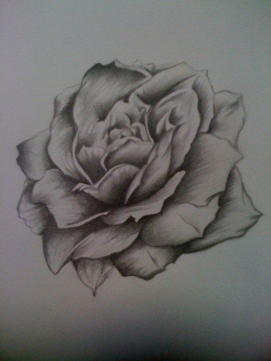 Drawn rose blooming rose P m rose on l