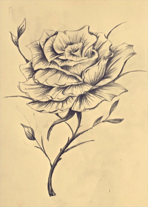 Drawn rose blooming rose Intricate lovely the rose always