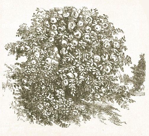 Drawn rose bush #10