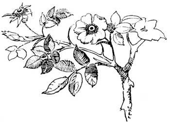 Drawn rose bush #12