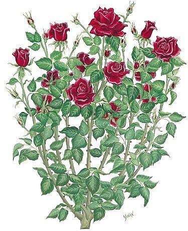 Drawn rose bush #5