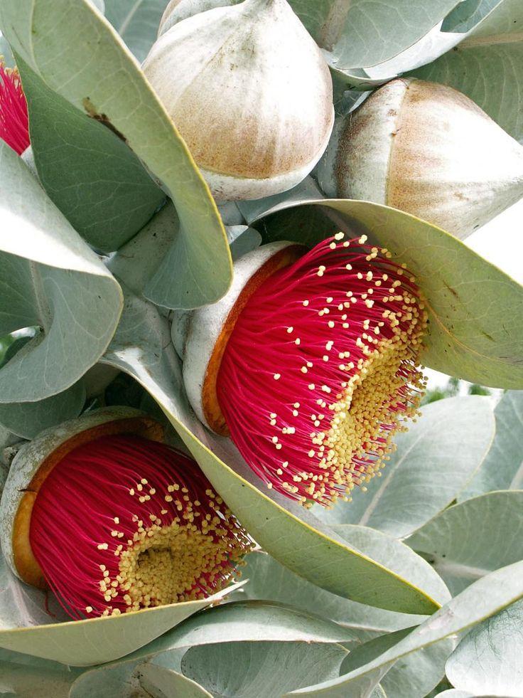 Drawn rose bush australian bird Australian Eucalyptus the Pinterest Rose