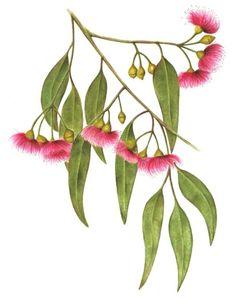 Drawn rose bush australian native plant Flowers australian Search watercolour watercolour