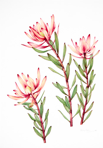 Drawn rose bush australian native plant Australian flowers  native Search