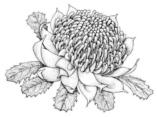 Drawn rose bush australian native plant For flowers Australian images Images