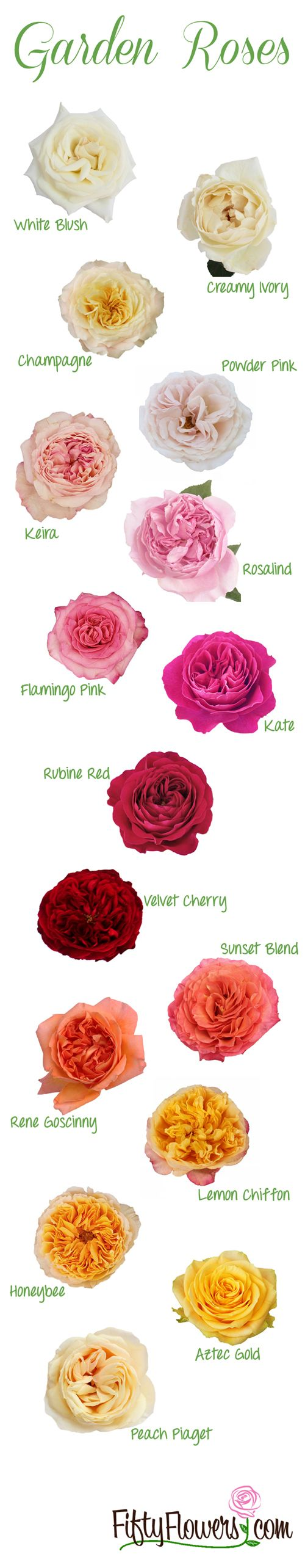 Drawn rose bush beautiful flower FiftyFlowers at are available ideas