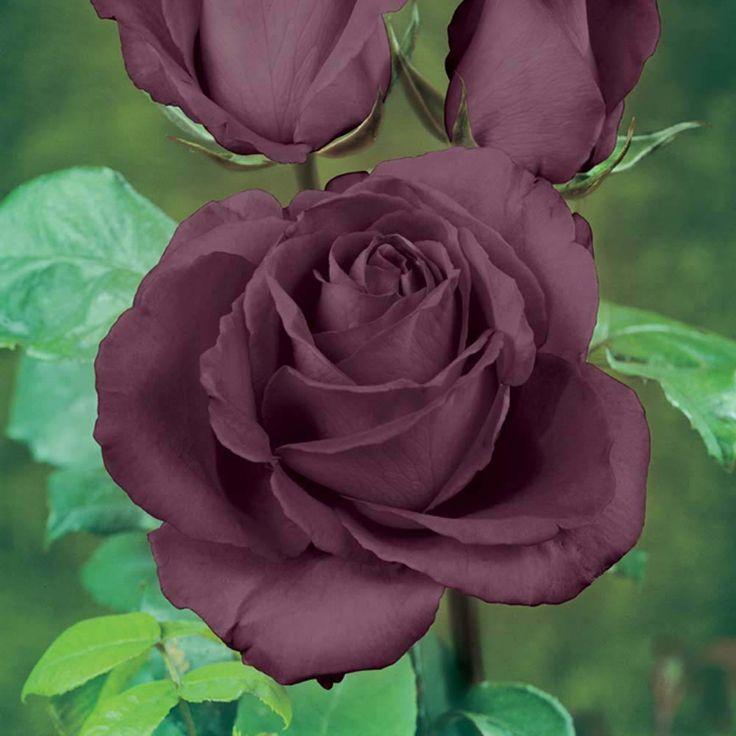 Drawn rose bush big rose Ideas Best Crafty on Pinterest