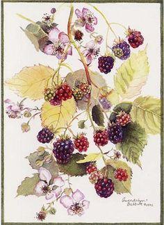 Drawn rose bush blackberry  Albums decoupage frutas Web