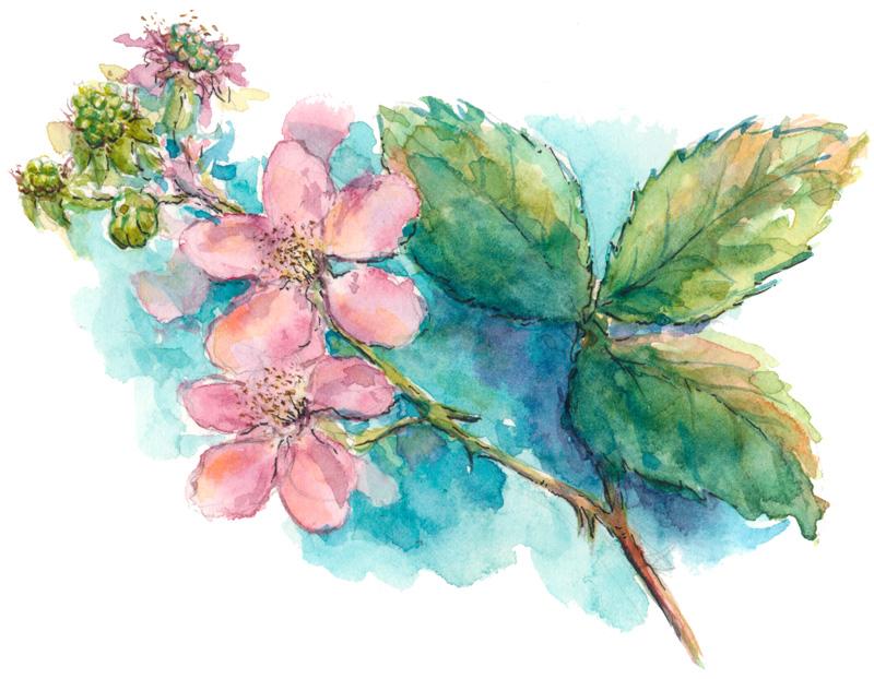 Drawn rose bush blackberry The on – Blossoms Artist