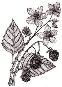 Drawn rose bush blackberry Albums Web para blackberries Picasa