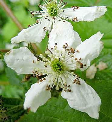 Drawn rose bush blackberry [11500006 to Butterflies summer