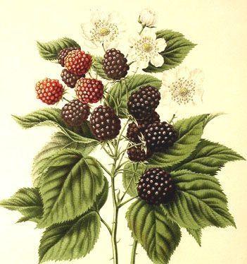 Drawn rose bush blackberry Tattoo Vintage me Pinterest and