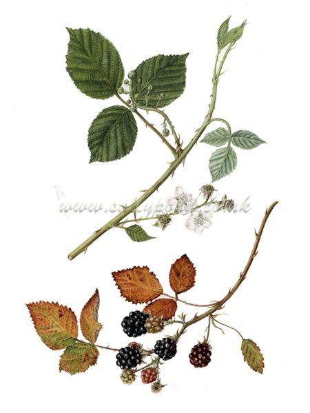 Drawn rose bush blackberry Lower Pinterest one on best