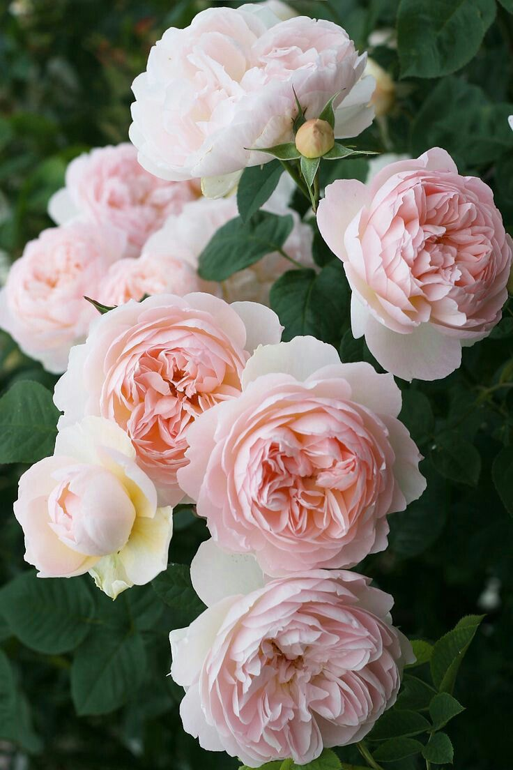 Drawn rose bush blooming rose Rose ideas and English and