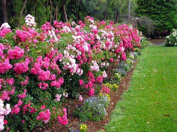 Drawn rose bush border Using Flower Ways Garden Landscape