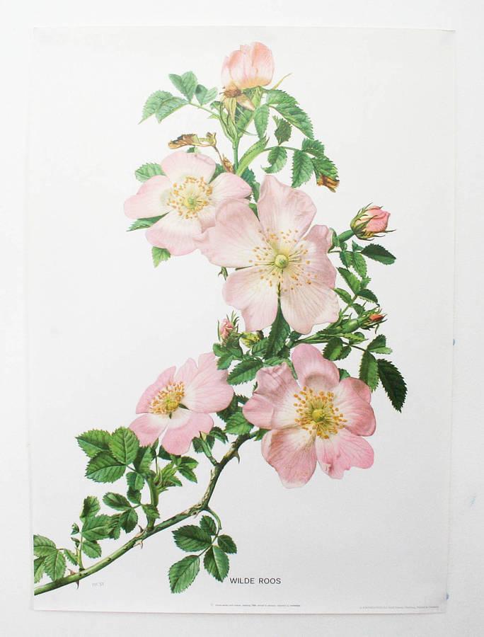 Drawn rose bush botanical illustration Rose Search Roses' jasmine Drawing