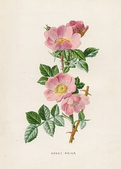 Drawn rose bush botanical illustration Tattoos Google Google wild Search