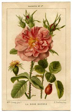 Drawn rose bush botanical illustration Pinterest Vintage more botanical on
