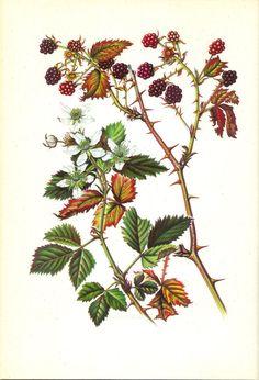 Drawn rose bush bramble bush Or Blackberry Bush Botanical
