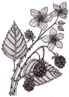Drawn rose bush bramble bush Butterflies 28Aug12 drawing on blackberries