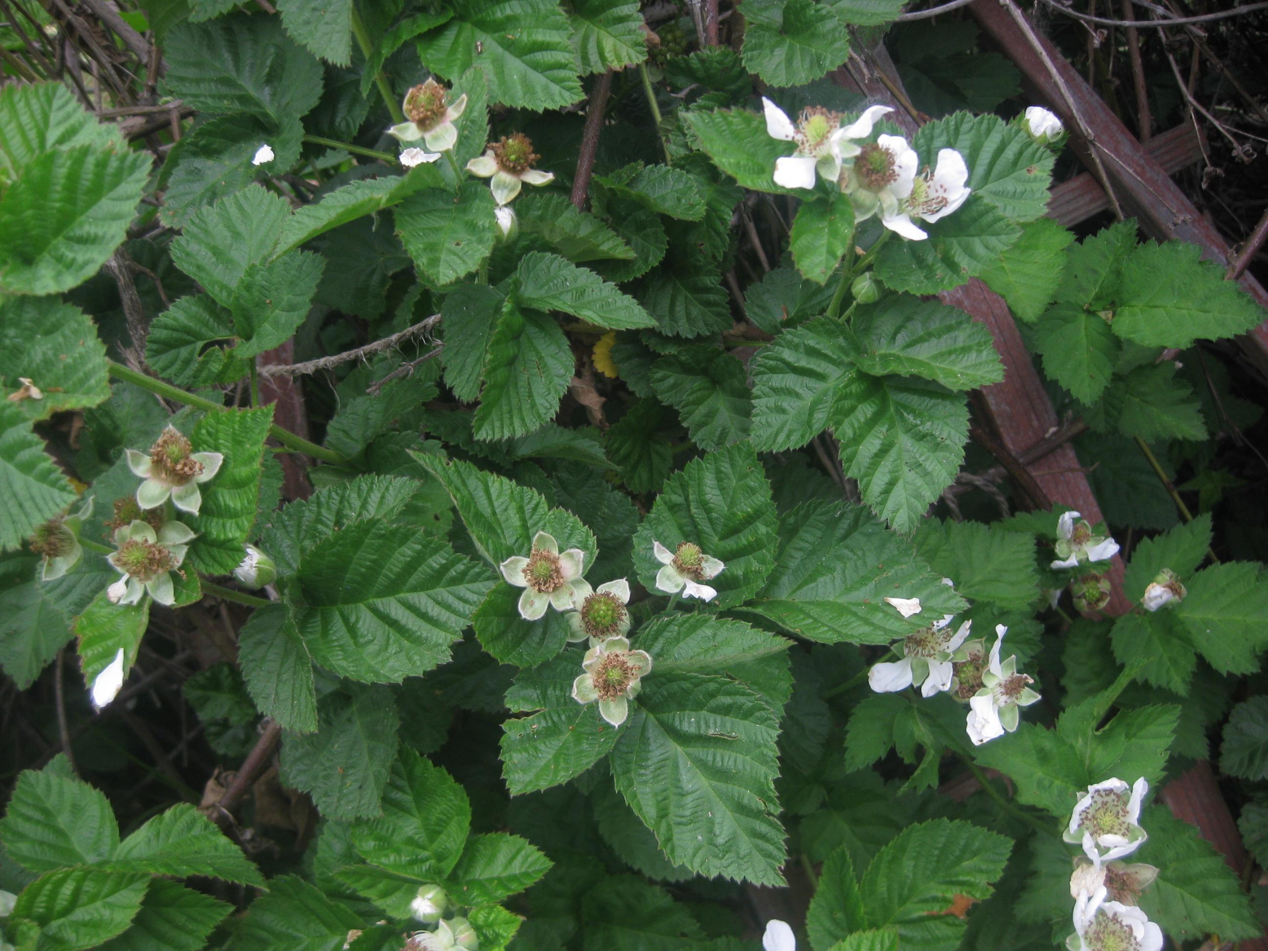 Drawn rose bush bramble bush To blackberry beginning end Raspberries