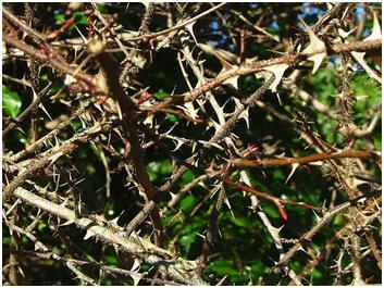 "Drawn rose bush bramble bush Judges Briar more! Is ""Once"
