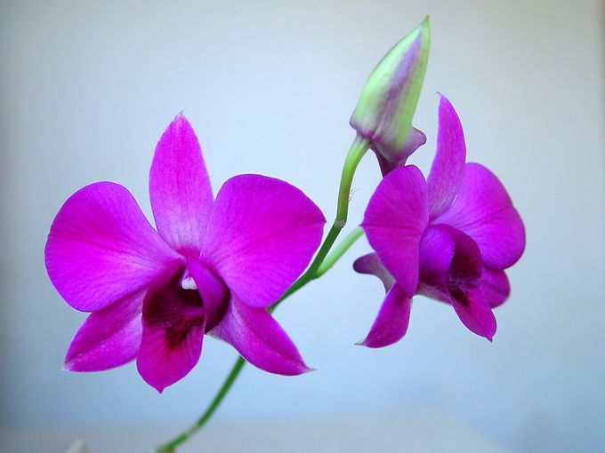 Drawn rose bush cooktown orchid 13 Cooktown on phalaenopsis best