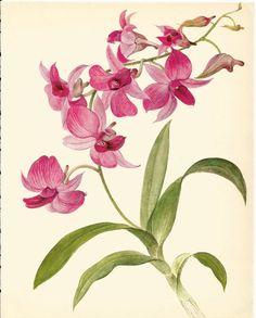 Drawn rose bush cooktown orchid Pink Orchid Illustration Orchid Láminas
