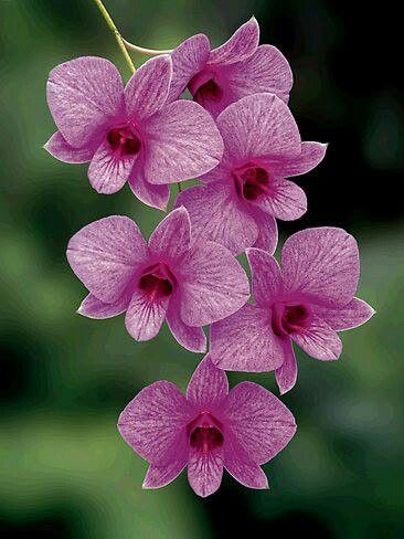 Drawn rose bush cooktown orchid Flora images Orchid Australian on