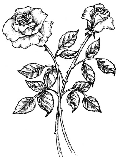 Drawn rose bush detail drawing Rose Rose our How with