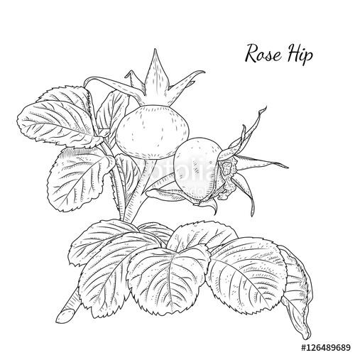 Drawn rose bush dog rose Plant Rose bush Dog and