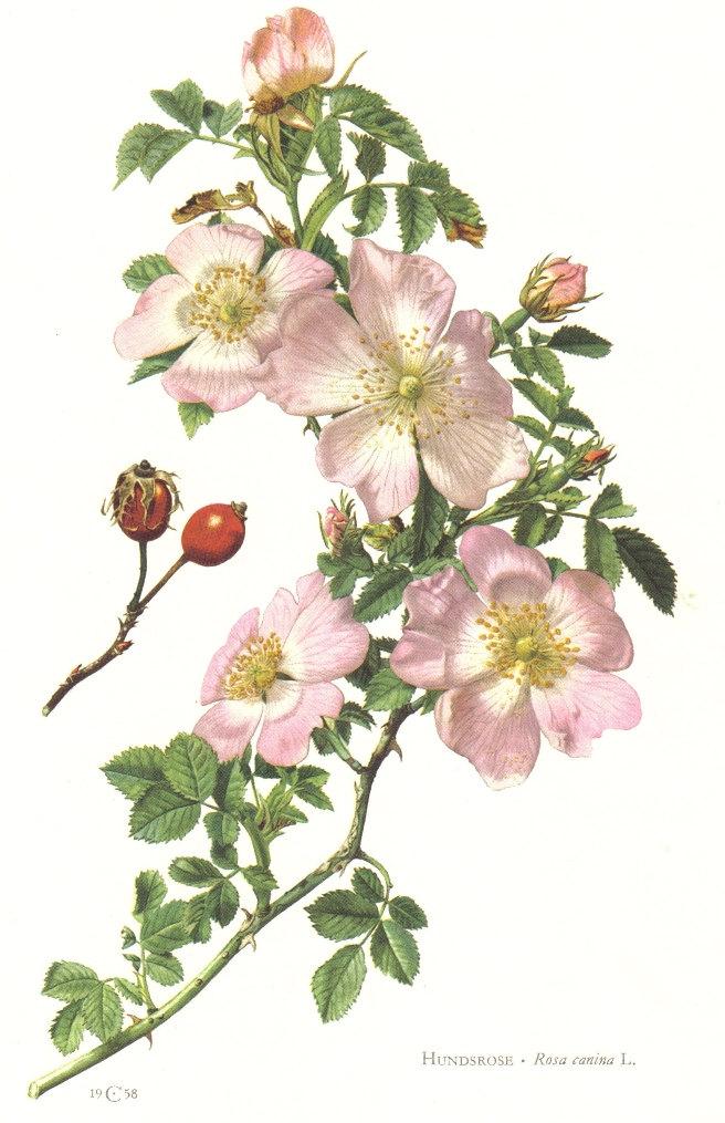 Drawn rose bush dog rose Canina Dog Botany Botanical rose