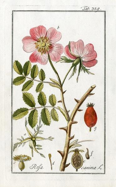 Drawn rose bush dog rose Best Botanical Pinterest Illustration Wild