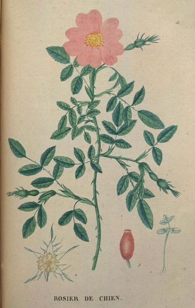 Drawn rose bush dog rose Dog Rose Modern A Roses