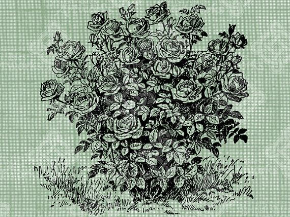 Drawn rose bush old fashioned flower Foliage stamp Download and digital