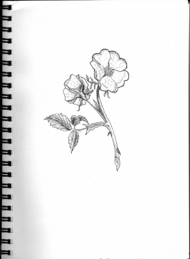 Drawn rose bush pen and ink Last lovely Wolfenhowle I Press