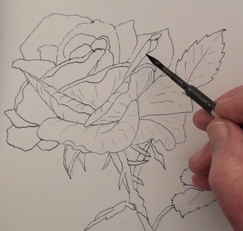 Drawn rose bush pen and ink And Rose the Pen —