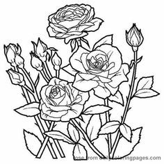 Drawn rose bush plant Color and Pages to Roses