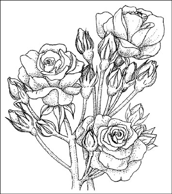 Drawn rose bush red rose flower Are fairly The Polyantha at