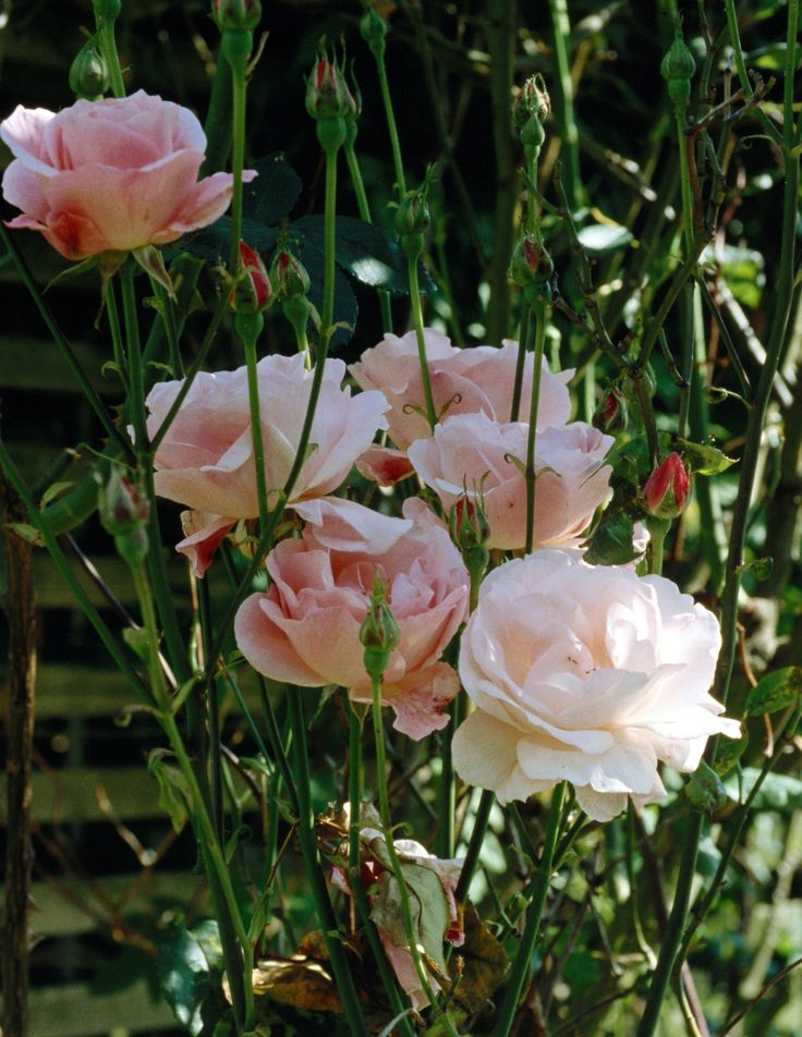 Drawn rose bush rosal  ideas rosal nuevo The