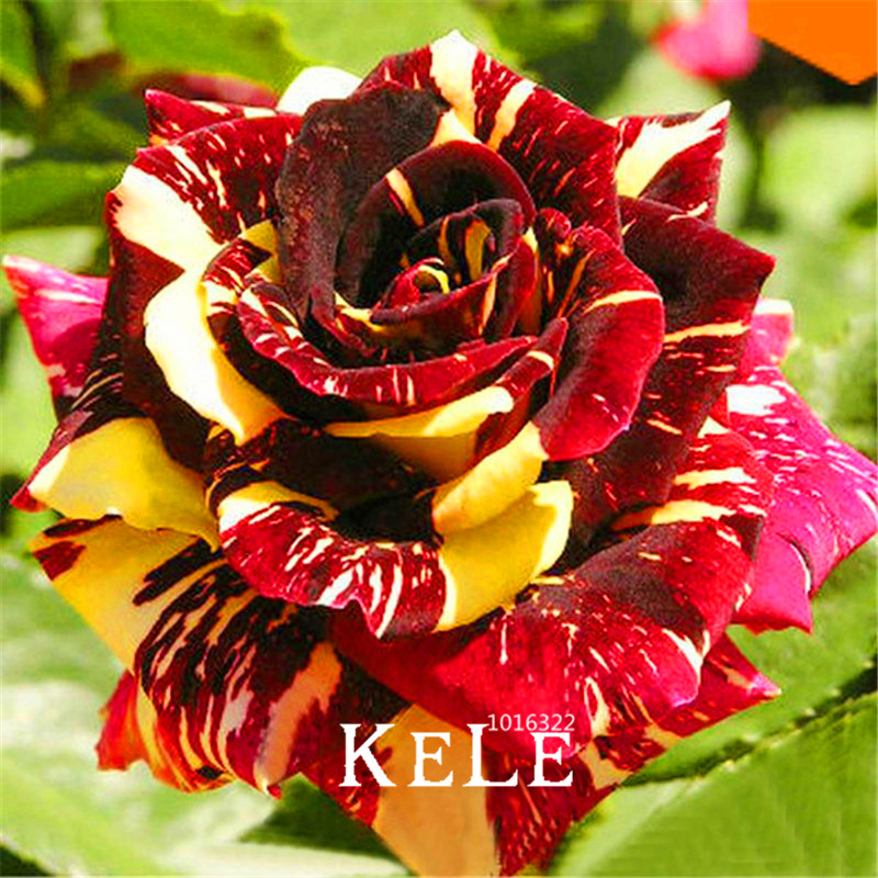 Drawn rose bush rosal Rose Shopping/Buy for Bonsai Exotic