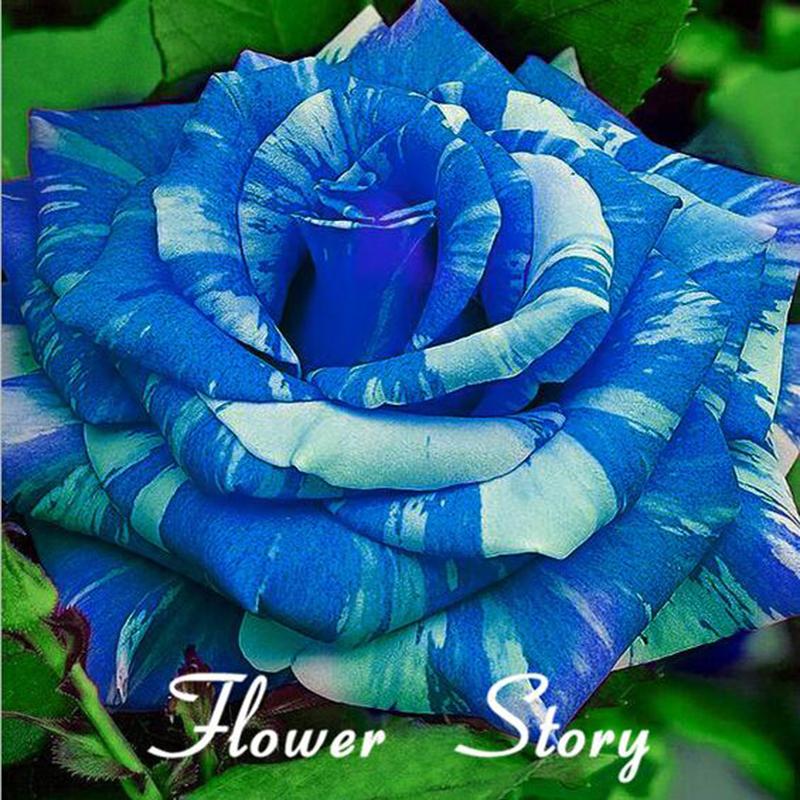 Drawn rose bush rosal Shopping Reviews Bush on Seeds